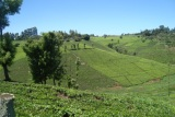 Tea farm in Gatanga Constituency